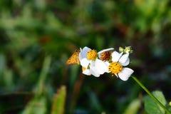 在白花的蝴蝶早晨 库存照片