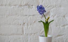 在白花罐的紫罗兰色紫色花 库存图片