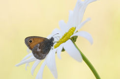 在白花雏菊的蝴蝶 免版税库存照片