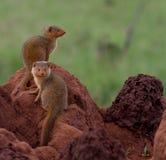 在白蚁土墩的两矮小的猫鼬 免版税图库摄影