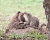 在白蚁土墩的被结合的猫鼬 库存照片
