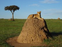 在白蚁小山的狮子 库存图片