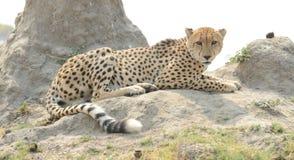 在白蚁小山的猎豹 库存图片