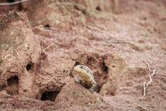 在白蚁登上的被镀的蜥蜴 免版税图库摄影