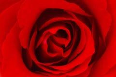 在白革垫的红色玫瑰 免版税库存照片