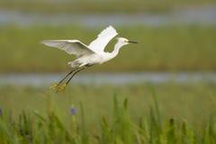 在白鹭多雪沼泽地的飞行间 免版税库存图片