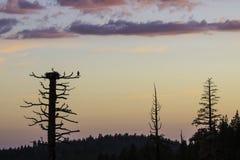 在白鹭的羽毛巢的日落 库存照片
