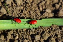 在百合叶子的两只红色甲虫  免版税图库摄影