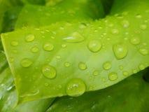 在百合叶子的雨珠 免版税库存图片