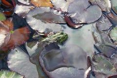 在百合叶子的青蛙 库存图片