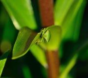 在百合叶子的绿色甲虫nezara viridula 库存照片