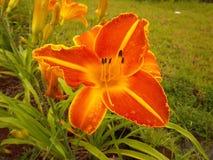 在百合的早晨露水在庭院里 免版税库存图片