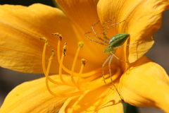 在百合的绿色天猫座蜘蛛 库存图片