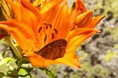 在百合花的蝴蝶 图库摄影
