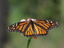 在百日菊属的黑脉金斑蝶有绿色背景 免版税库存图片