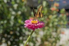 在百日菊属的黄色蝴蝶着陆 免版税图库摄影