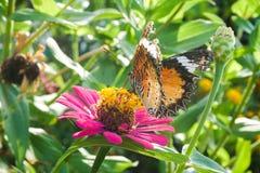 在百日菊属花的蝴蝶在自然庭院里 免版税库存图片