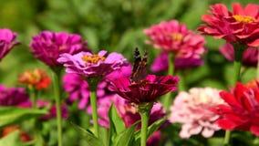 在百日菊属花的蝴蝶 股票视频