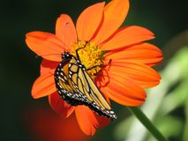 在百日菊属花的蝴蝶 图库摄影