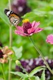 在百日菊属花的黑脉金斑蝶 免版税图库摄影