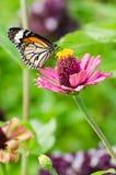 在百日菊属花的黑脉金斑蝶 免版税库存图片