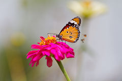 在百日菊属花的黑脉金斑蝶 免版税库存照片