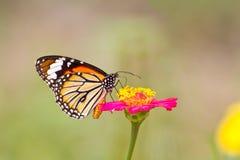 在百日菊属花的Monach蝴蝶 图库摄影