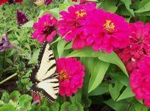 在百日菊属花的Swallowtail蝴蝶 图库摄影