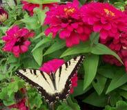 在百日菊属花的Swallowtail蝴蝶 免版税库存图片