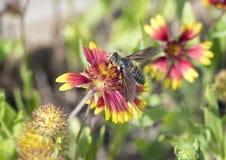 在百日菊属绽放的Hoverfly 免版税库存图片