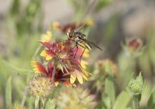 在百日菊属绽放的Hoverfly 免版税库存照片