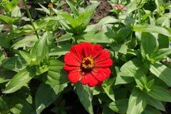 在百日菊属leafage的一朵红色花  图库摄影