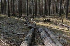 在的一棵下落的树杉木 库存照片