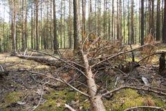 在的一棵下落的树杉木 免版税库存图片