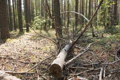 在的一棵下落的树杉木 库存图片