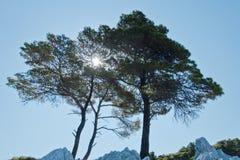 在的三棵杉树在海角Amarandos,斯科派洛斯岛海岛的岩石 免版税库存照片
