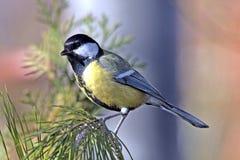 在的北美山雀杉树 免版税库存照片