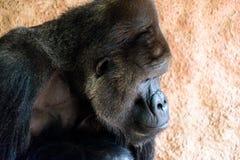 在的哀伤的大猩猩 图库摄影