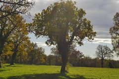 在的大橡树在领域中间 免版税库存图片