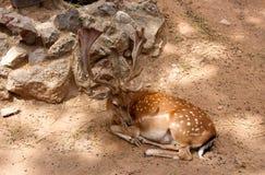 在的小鹿在Parc de la Ciutadella。巴塞罗那。 库存照片