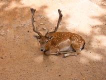 在的小鹿在Parc de la Ciutadella。巴塞罗那。 免版税库存照片