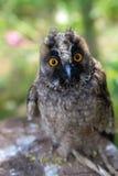 在的幼小猫头鹰坐树桩前面 库存图片