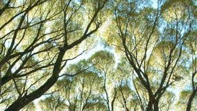 在的底视图在秋天树的黄色叶子在公园或森林明亮的太阳通过树枝发光 股票录像
