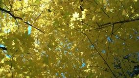 在的底视图在秋天树的黄色叶子在公园或森林缓慢的mo 影视素材