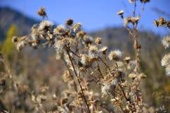 在的新疆天山天池蒲公英 库存图片