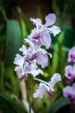 在的新鲜的兰花花 库存照片