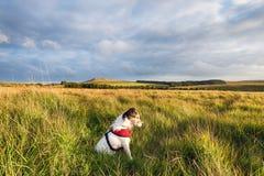 在的杰克罗素狗停泊 免版税库存照片