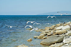在的海鸥岩石 图库摄影