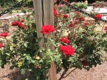 在的玫瑰 库存图片