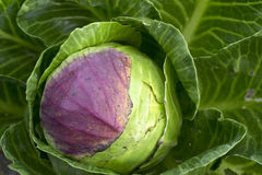 在的白椰菜在有机菜园里。 库存图片